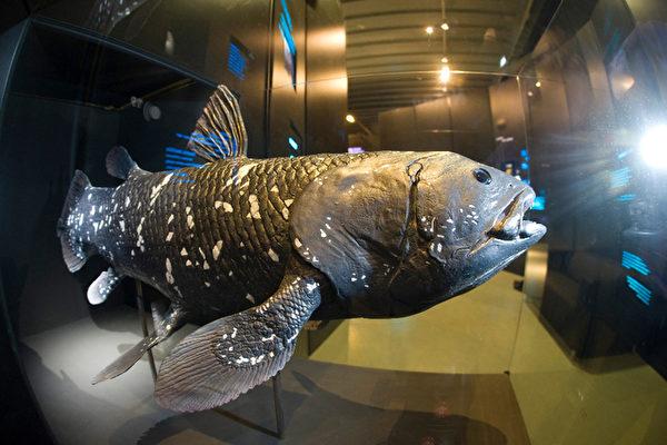 四億年不變 活化石腔棘魚奇特的一夫一妻   大紀元