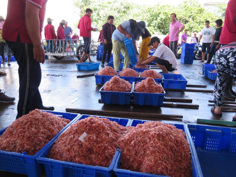 臺東港櫻花蝦 產值5億以上   禁捕期   大紀元