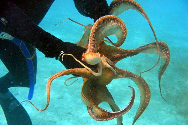 不只是聰明 八爪魚的八大表現令人驚訝 | 動物 | 智能 | 章魚 | 大紀元