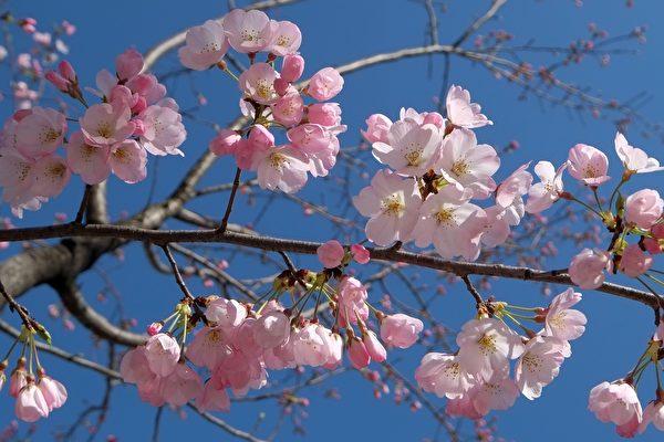 春天到了!日本氣象廳宣布東京櫻花季開始 | 觀光 | 花期 | 賞櫻 | 大紀元