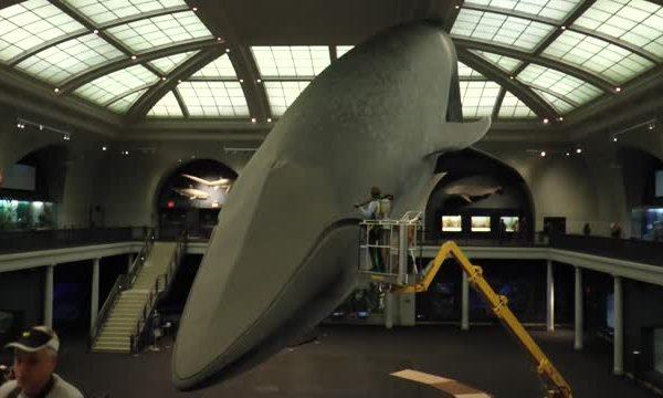 美國自然歷史博物館 超大藍鯨「洗澡」   大紀元