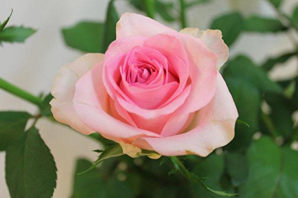 臺灣七夕新玫瑰添浪漫 臺南澎湖有傳統習俗 | 情人節 | 花卉 | 大紀元