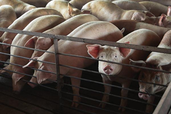 帶豬瘟病毒肉製品恐占50%市場 中共無視