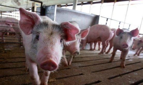 华为无法出售手机,并希望养猪,引起网民的嘲笑 华为华为猪  任正非  聪明的猪