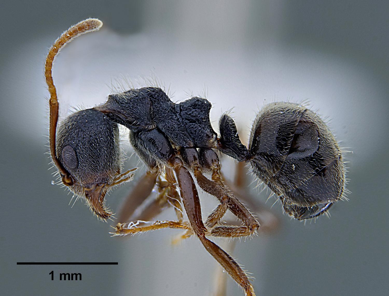 阻擋螞蟻雄兵 螞蟻博士有錦囊妙計 | 紅火蟻 | 皂素 | 黑螞蟻 | 大紀元