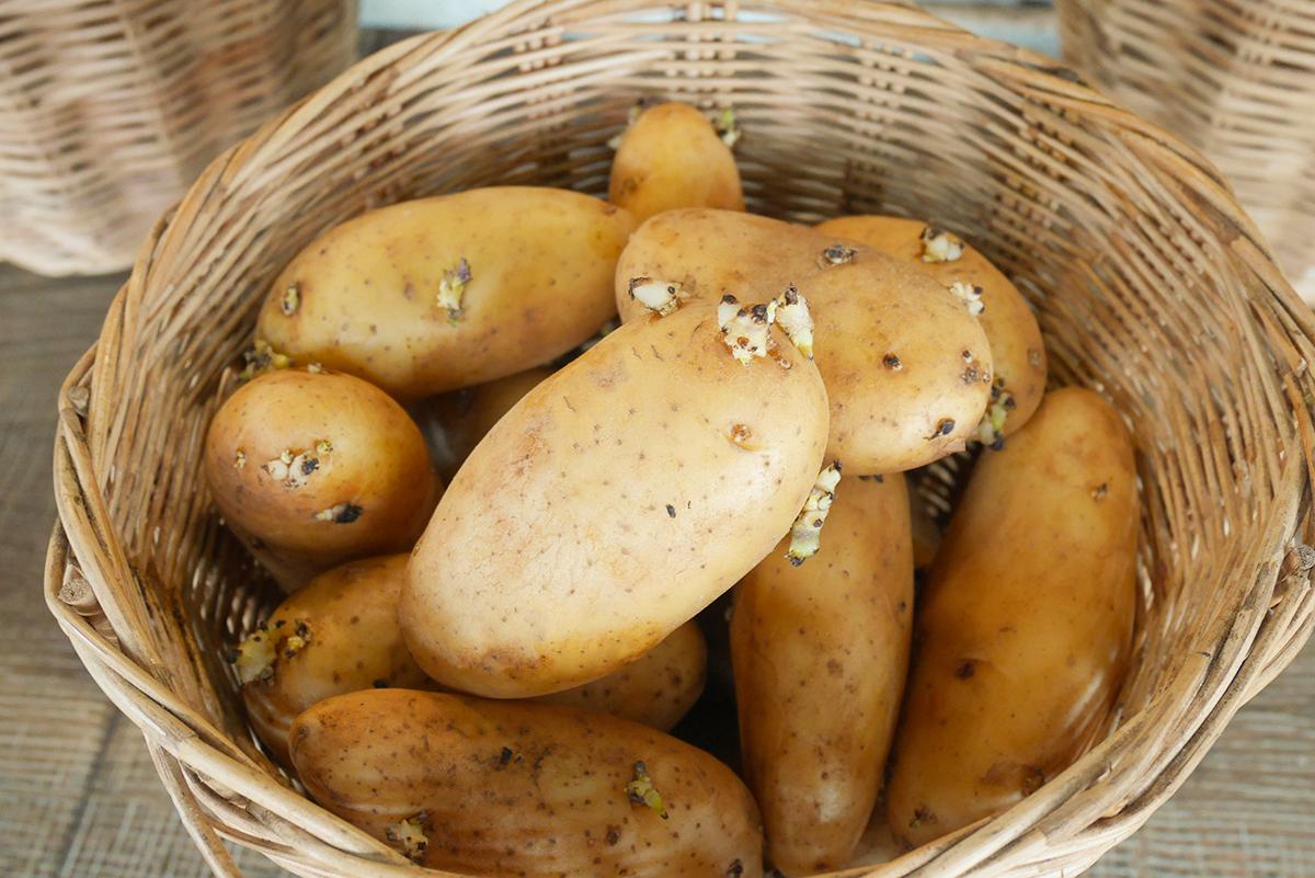 食物發芽能吃嗎?有的有毒 有的更營養   馬鈴薯   發芽米   豆芽   大紀元