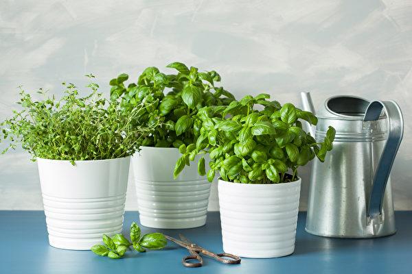 5種好栽種又好吃的香草植物 還能美化窗臺 | 室內植物 | 室內栽培 | 羅勒 | 大紀元