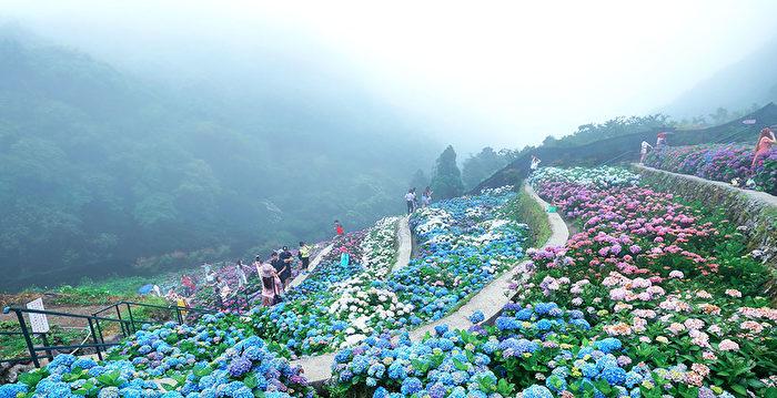 相約在花季 陽明山繡球花與海芋綻放 | 陽明山花季 | 竹子湖海芋季 | 八仙花 | 大紀元