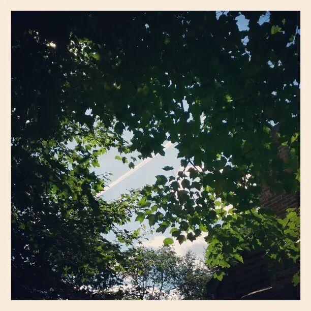 Contrails through maples