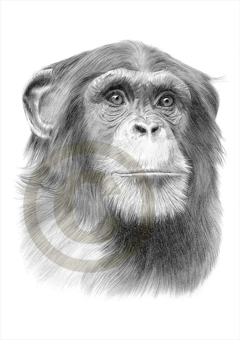 chimpanzee art chimp pencil