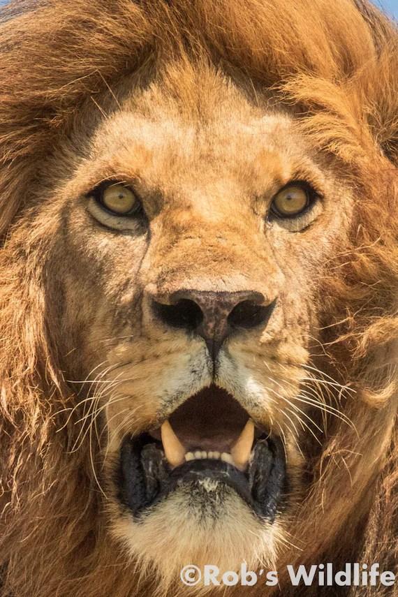 lion portrait photography print