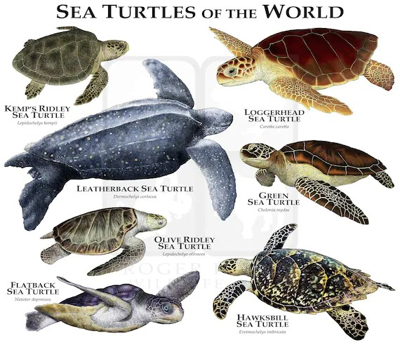 sea turtles of the world poster print
