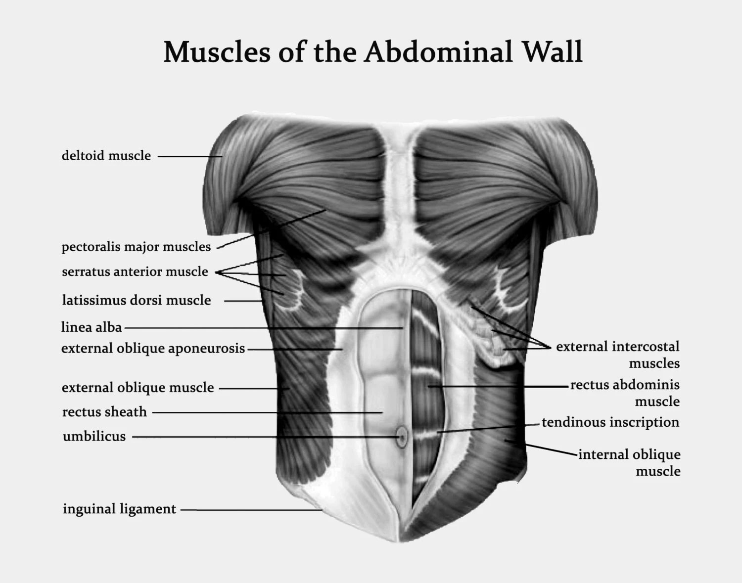 Muscles Of The Abdominal Wall Art Print