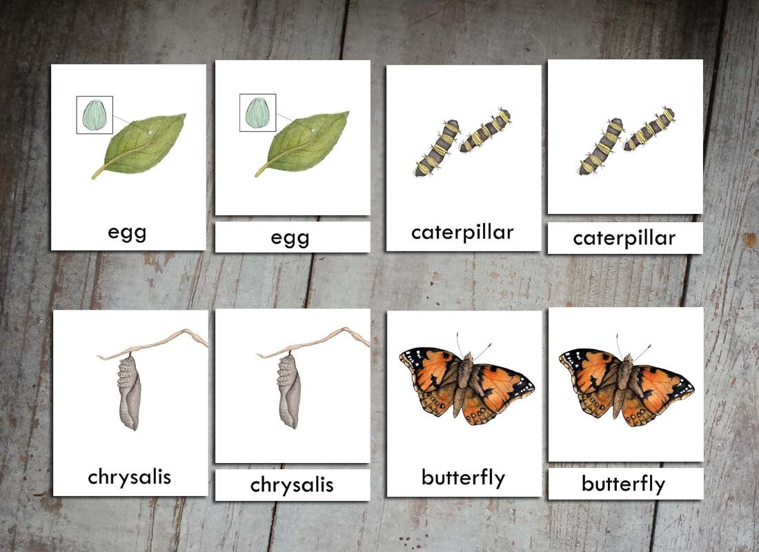 Montessori 3 Part Cards Life Cycle Of A Butterfly Painted