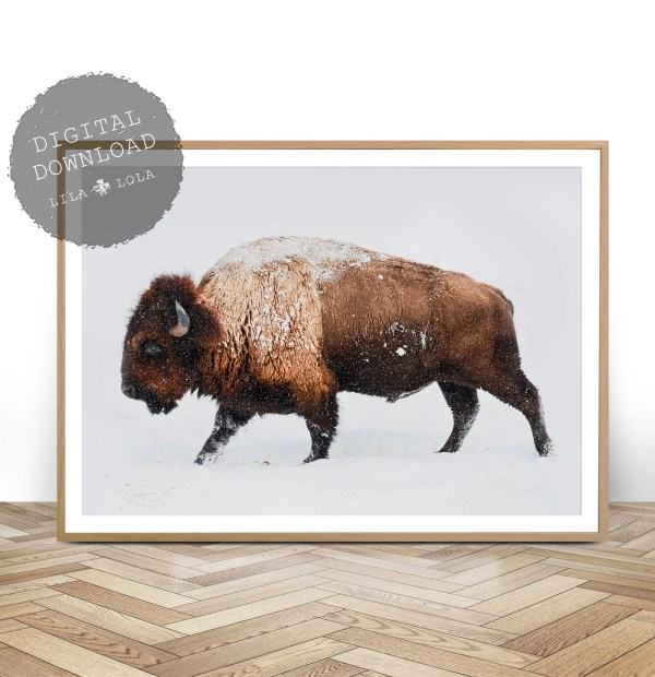Buffalo Photography South Western Decor Bison Print