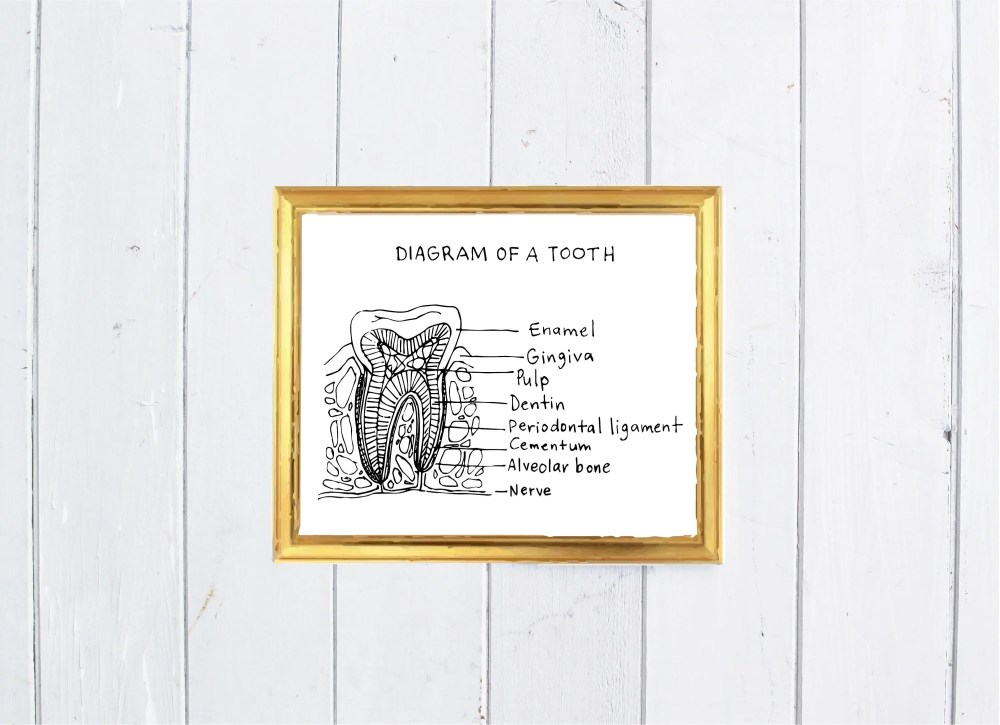 medium resolution of diagram of a tooth digital art print home decor office decor dental art pdf digital file