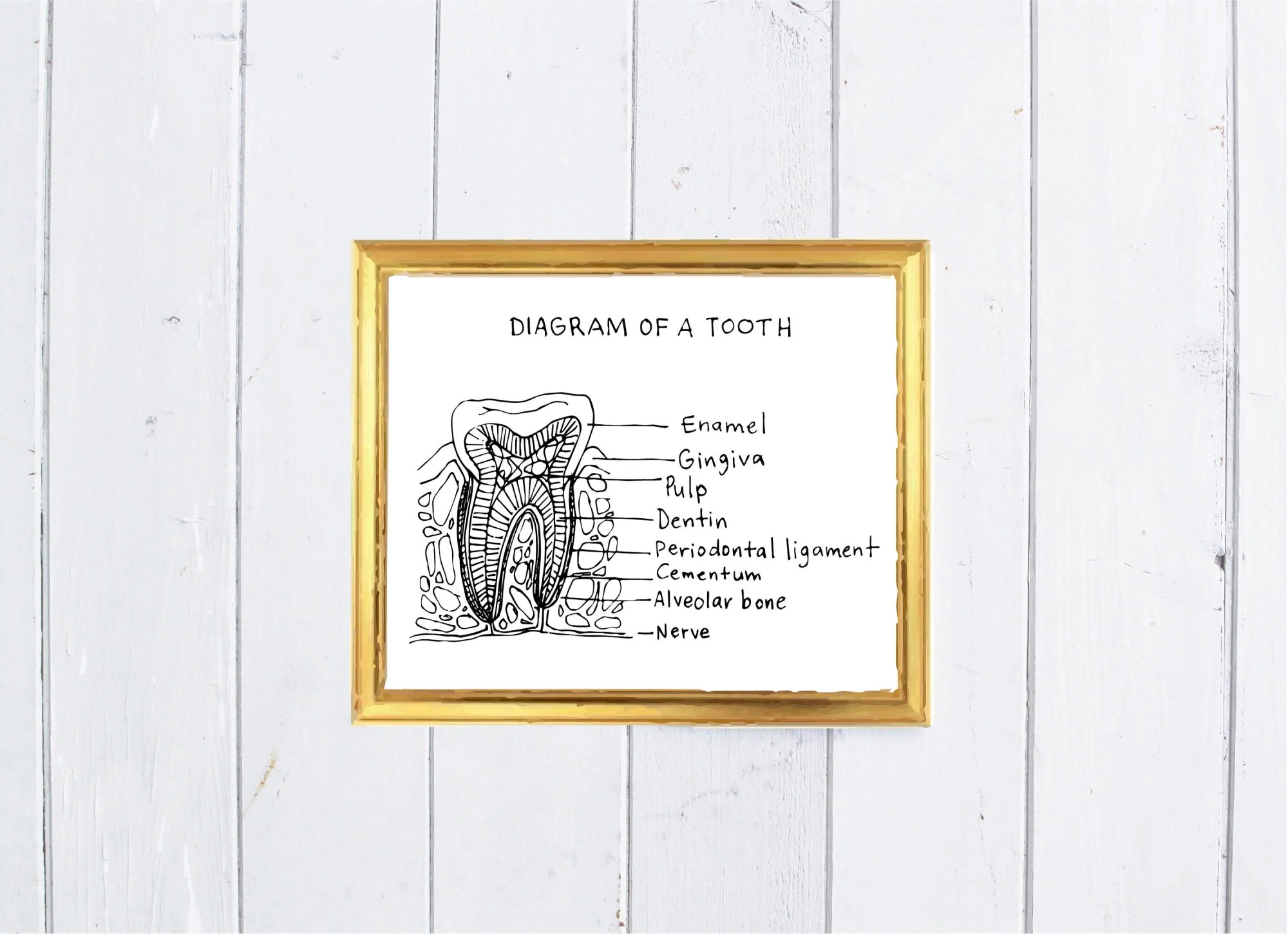 hight resolution of diagram of a tooth digital art print home decor office decor dental art pdf digital file