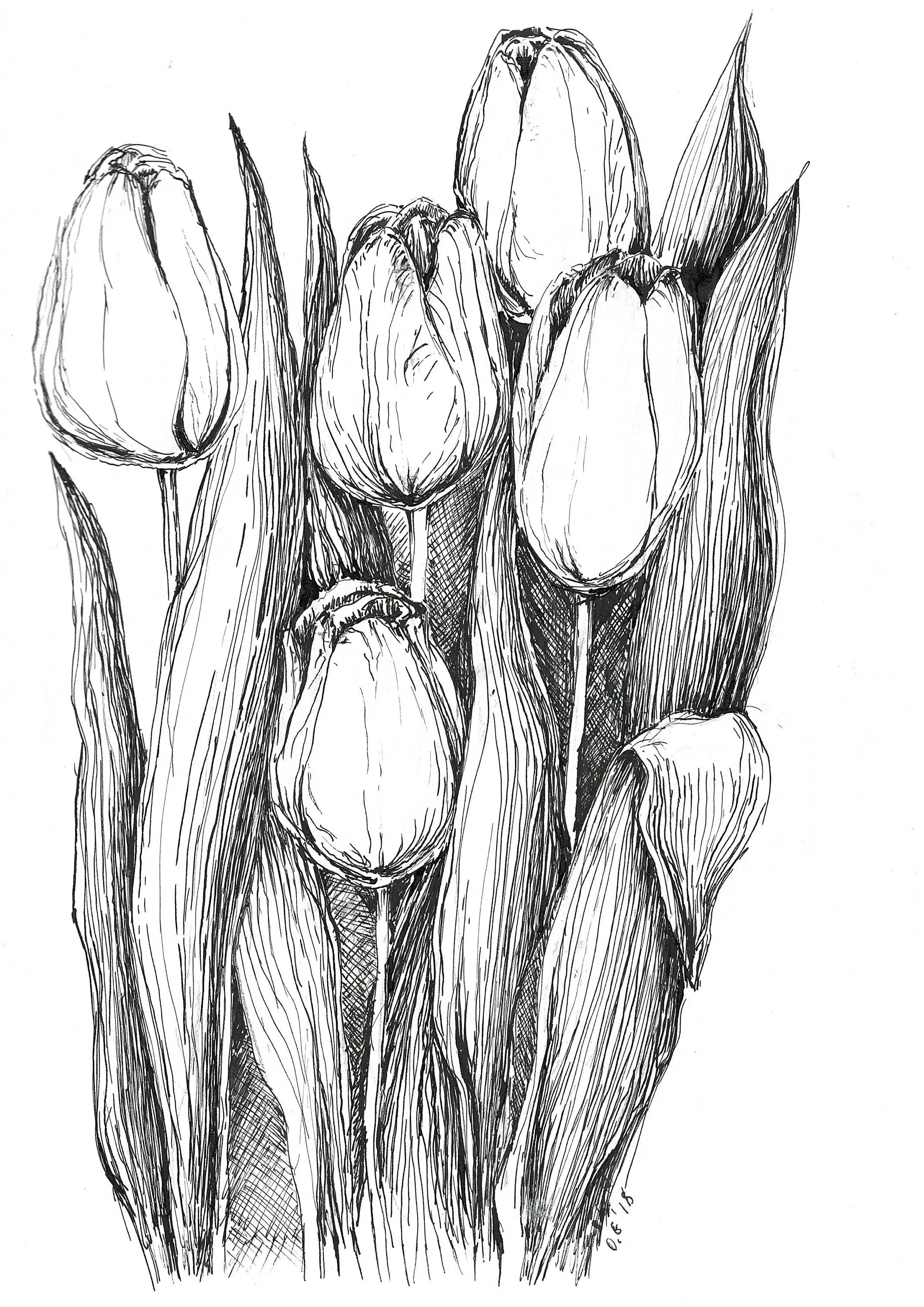 Tulips Sketch Pen And Ink Art Original Sketches Black And