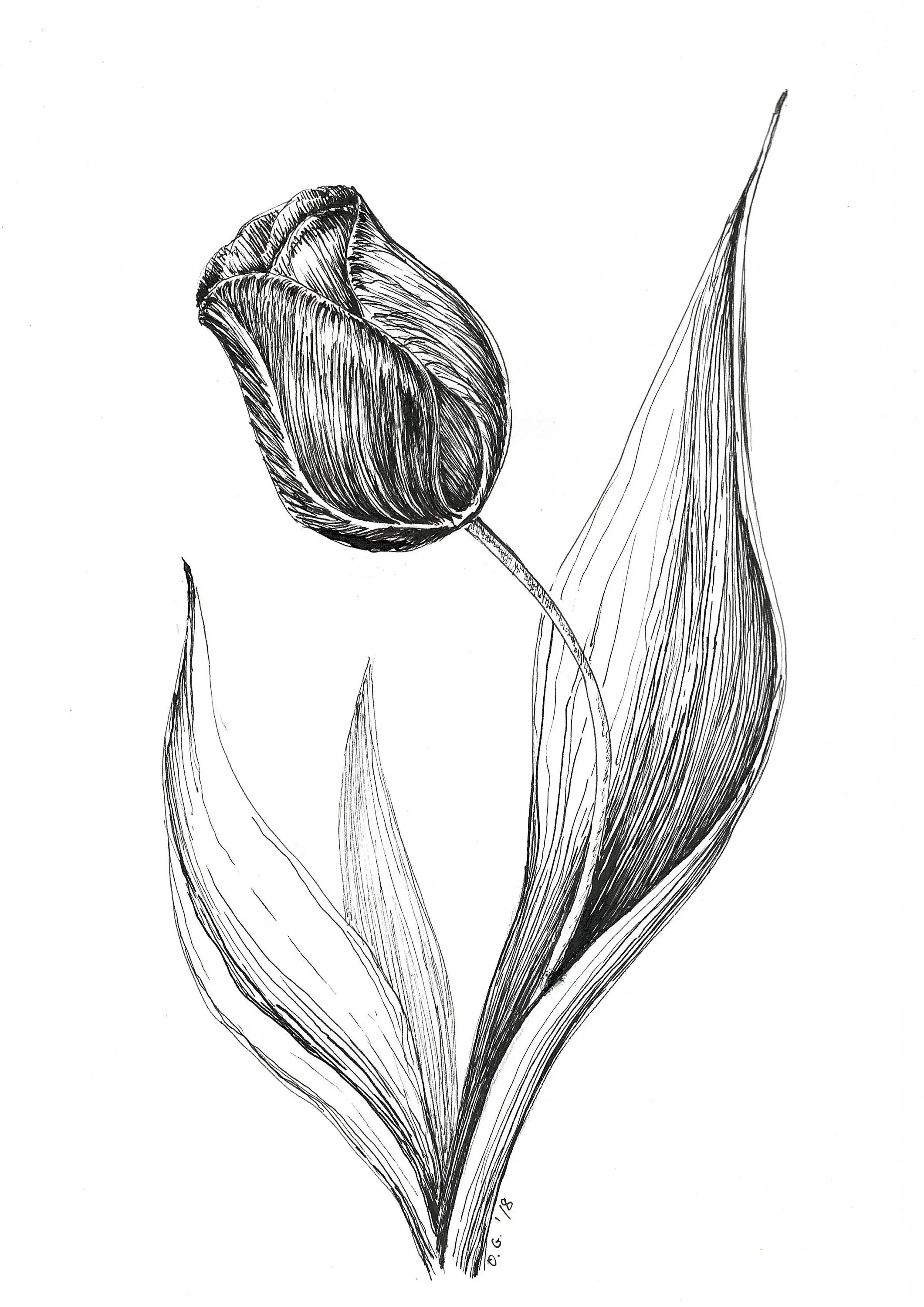 tulip illustration original drawing