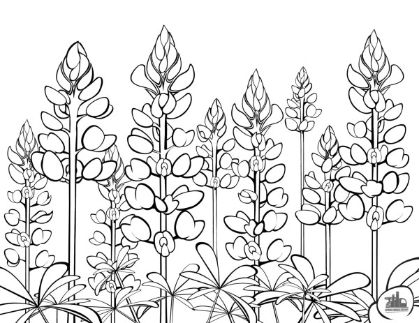 Texas Bluebonnets Coloring Sheet Etsy