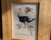 Ostrich, original Illustr...