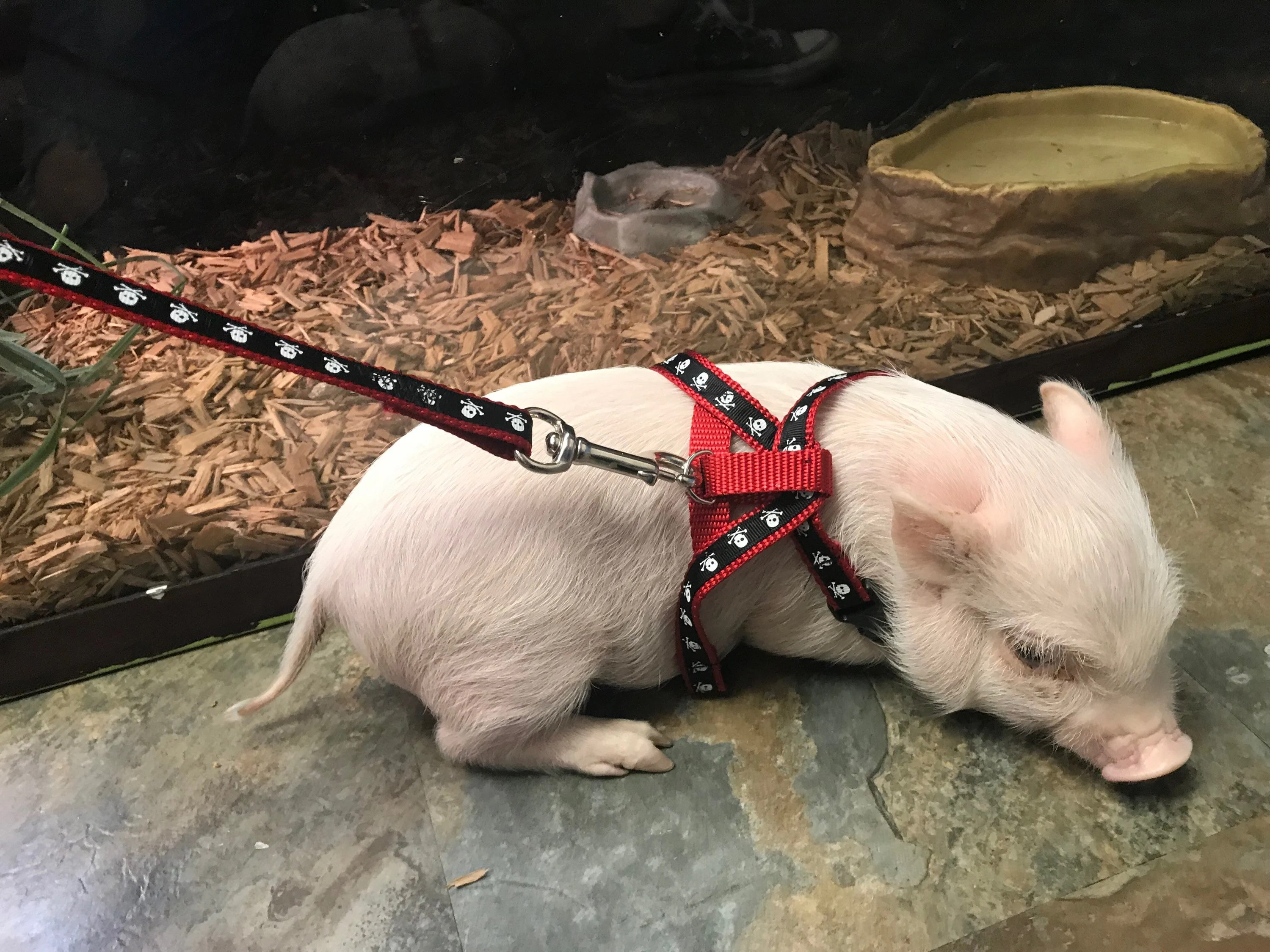 baby pig harness with