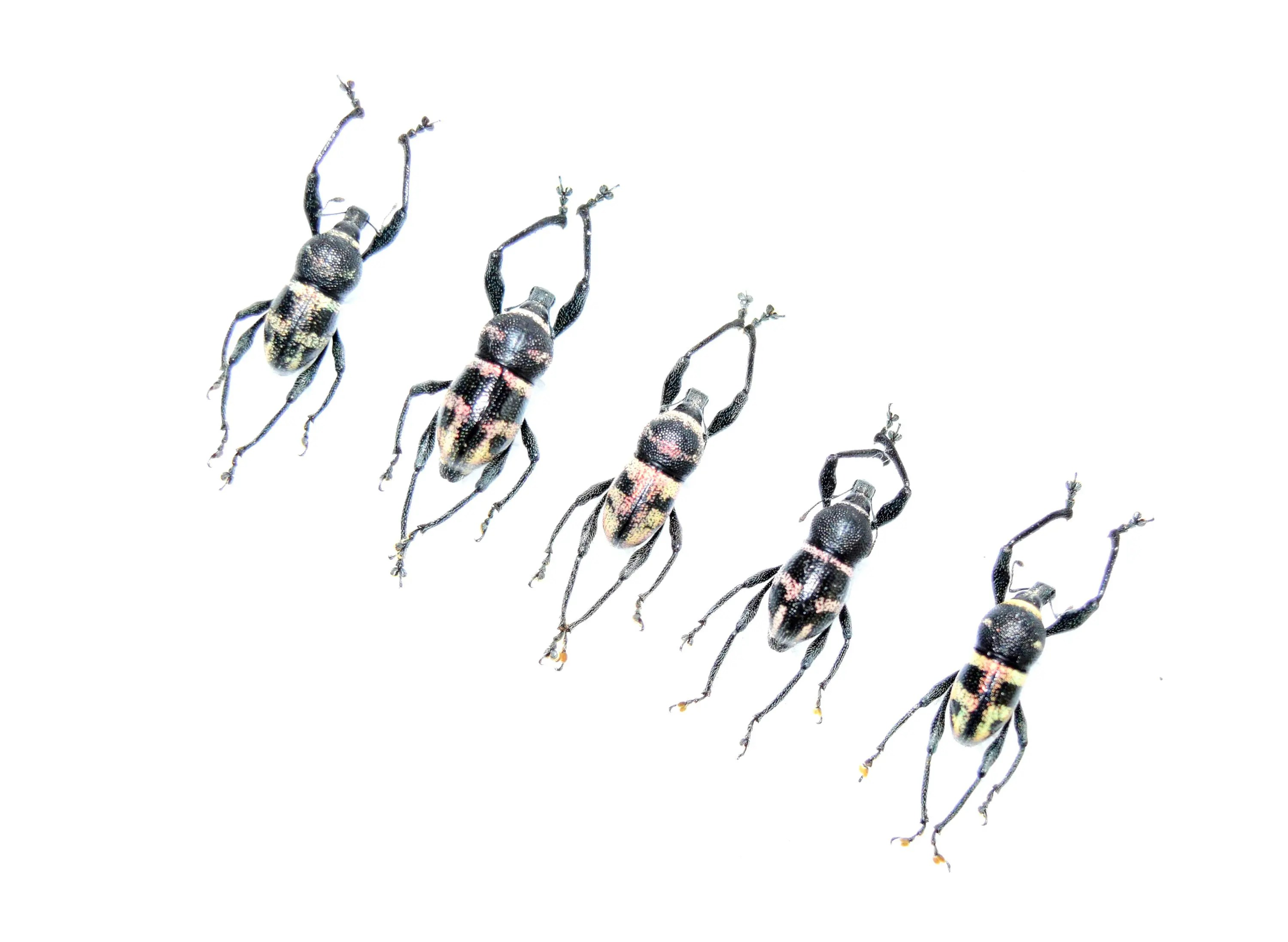 Pack Of 5 Real Insect Metapocyrtus Sp Real Beetle