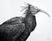 Thoth - Original graphite drawing by Wild Portrait Artist, 14 x 11  inches, realistic drawing of a bald ibis