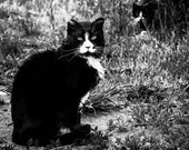 Feral Cat Photo, Black and White Cat Photo, Tuxedos Cats, Veterinary Art, Wall Art Print, Printable Large Poster Digital Download, note card