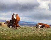 Cow Photo, Printable Cow ...