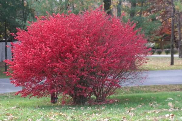 burning bush strauch # 5