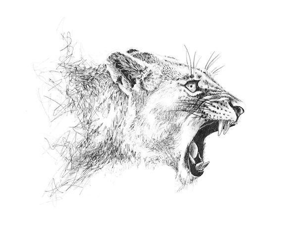 Roaring Lioness Mounted Print // Endangered Animal Drawing