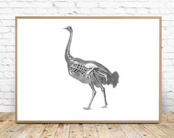 ostrich skeleton diagram chevy trailblazer fuse box etsy wall art instant download printable 8x10 a4 illustration drawing veterinarian gift safari