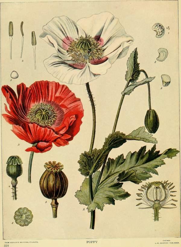 Poppy Botanical Print Illustration Vintage