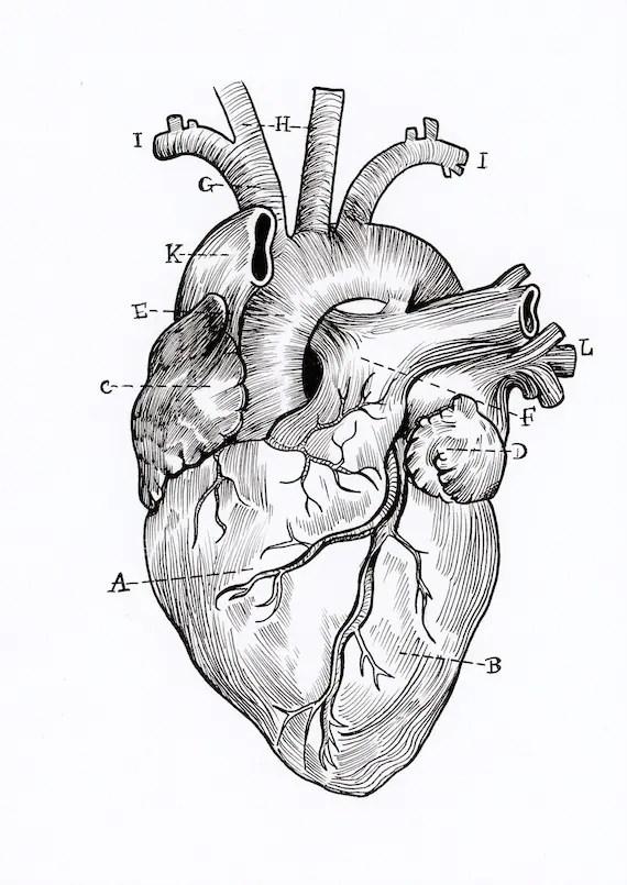 anatomical heart diagram pioneer radio wiring a5 print etsy