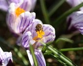 Bee on a flower / Blank Greeting Card / Note Card / Nature / Photography