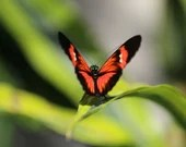 Red and Black Butterfly / Blank Greeting Card / Note Card / Nature / Photography