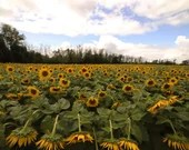 Sunflower Field / Blank Greeting Card / Note Card / Nature / Photography