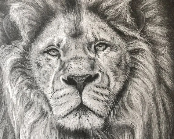 Original Lion Pencil Drawing By Jason Bodell A2 Lion Etsy