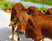 Cows in Vietnam