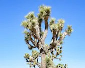 Joshua Tree Blue Sky