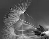 schwarz weiß Fotografie minimalistisch, Pusteblume, Fine Art Druck, Löwenzahn Bild, Foto Natur, quadratisches Bild, Wandbild schwarz weiß