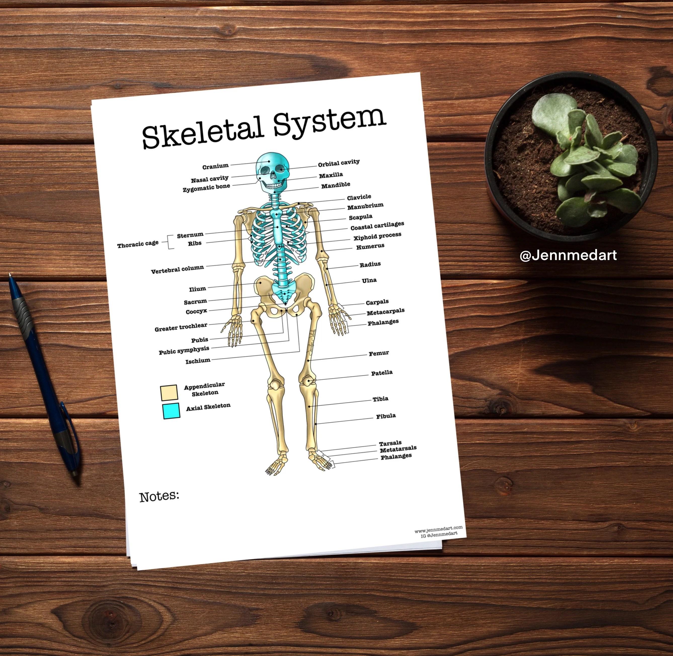 Skeletal System Anatomy Worksheet 3 In 1 Set A Labeled