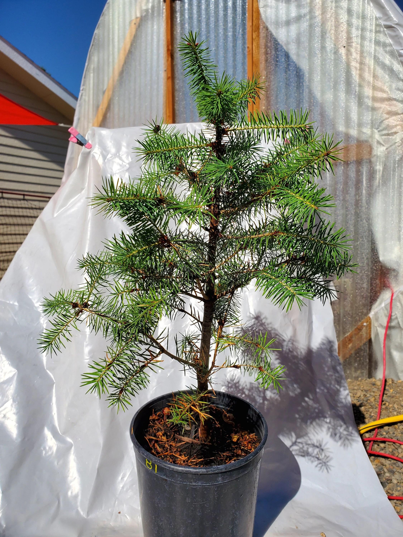 Douglas Fir Bonsai : douglas, bonsai, Rocky, Mountain, Douglas, Tree:, Landscape/pre, Bonsai