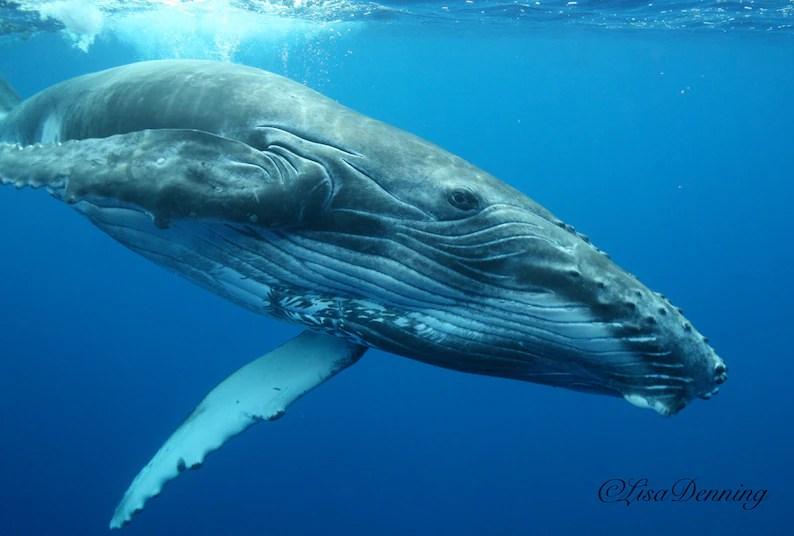 Jonge Bultrug walvis spelen in Tahiti image 0