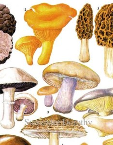 Image also edible mushrooms wild vegetable food chart botanical etsy rh