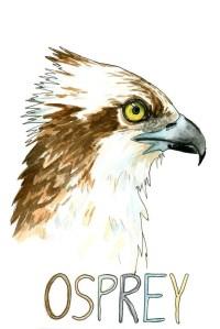 Osprey Bird Print Bird Art Bird of Prey Coastal Wall Art ...