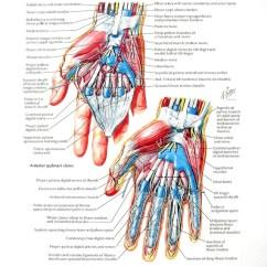 Palmar Hand Muscle Anatomy Diagram Cat5 Wiring 568b Print Wrist Dissections Flexor Etsy Image 0