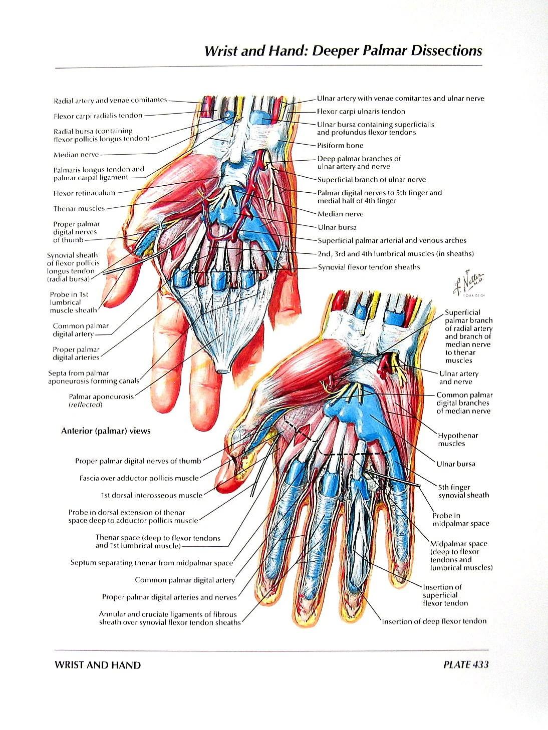 palmar hand muscle anatomy diagram 2002 hyundai accent wiring print wrist dissections flexor etsy 50