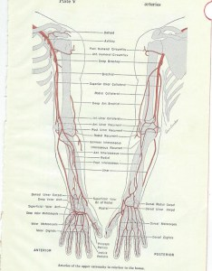 Image also human anatomy medical chart arteries of the arms or etsy rh